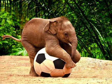 Обои Слонёнок играет с мячиком