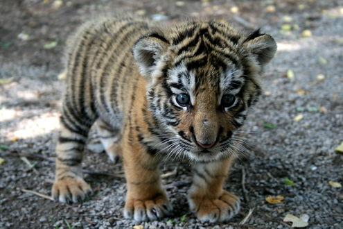 Обои Маленький тигрёнок