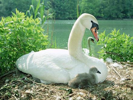 Обои Лебедь с лебедёнком
