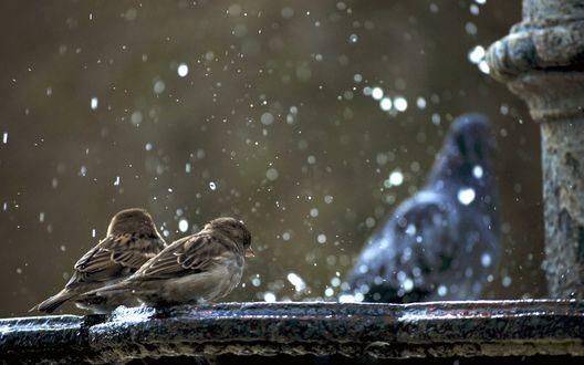 Обои Воробьи под фонтаном