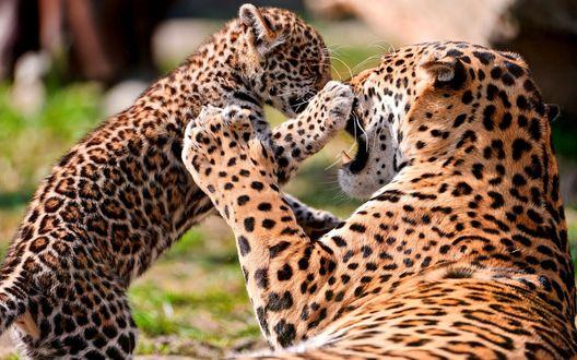 Обои Игры леопардов