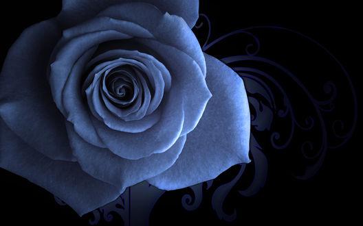 Обои Роза