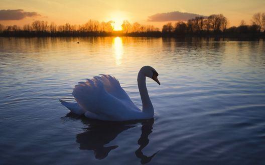 Обои Одинокий лебедь на озере на закате дня