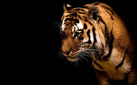 Обои Тигр на темном фоне