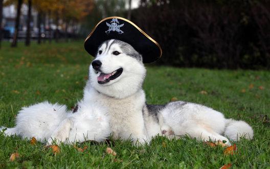 Обои Лайка в пиратской шляпе
