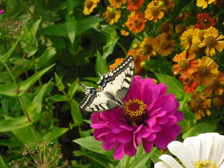 Обои Бабочка на георгине