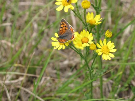Обои Бабочка на жёлтой ромашке