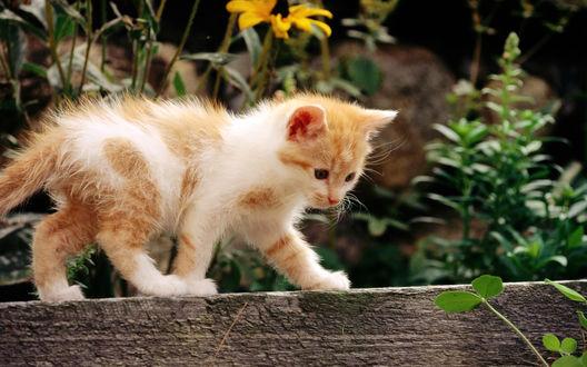 Обои Рыжий котёнок держит равновесие