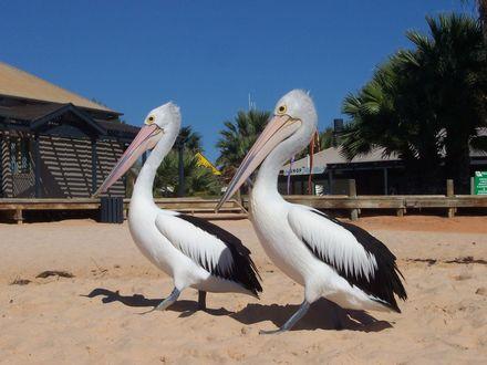 Обои Пара величавых пеликанов