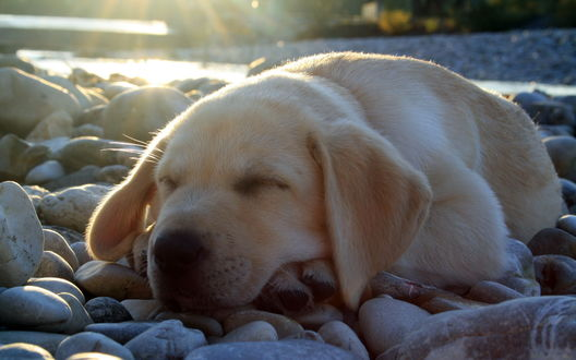 Обои Лабрадор,спящий на камнях