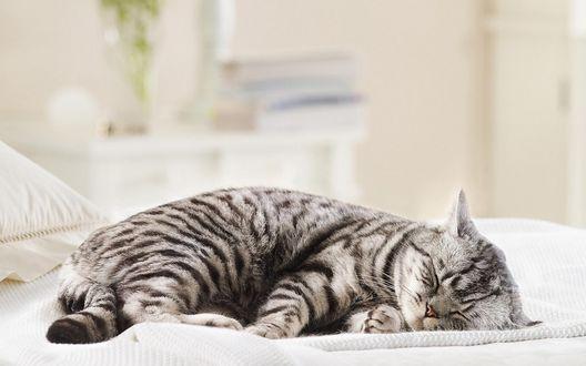 Обои Толстая спящая кошка
