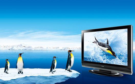 Обои Пингвины смотрят на монитор, на экране которого резвящийся пингвин