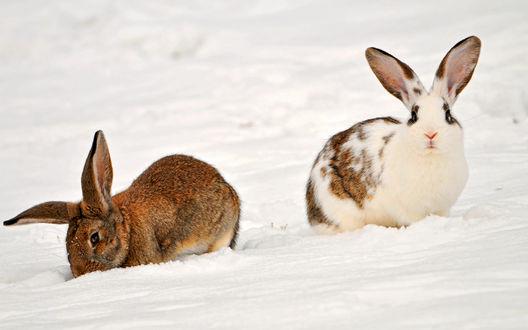 Обои Два кролика на снегу