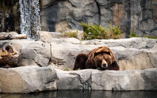 Обои Бурый медведь лежит на камне возле воды