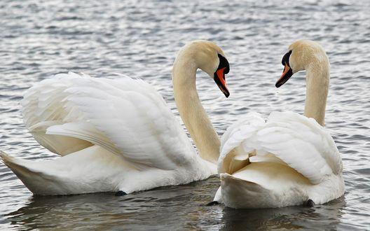 Обои Пара мирно плывущих лебедей