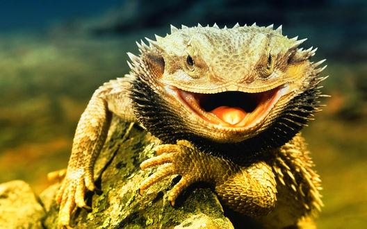 Обои Ящерица - бородатый дракон