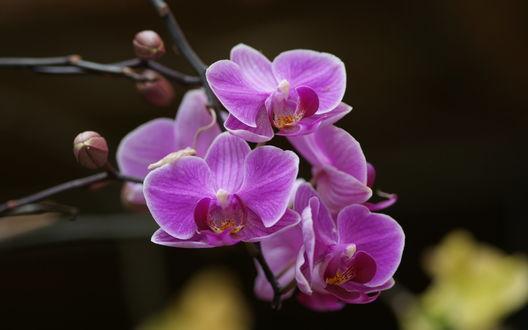Обои Фиолетовая орхидея
