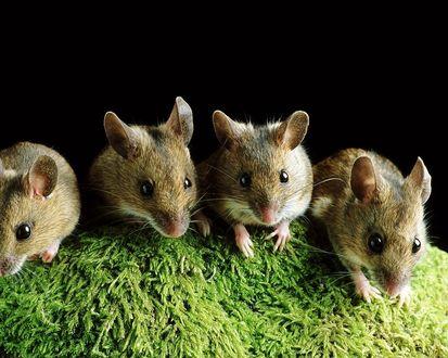 Обои Симпатичные мышки