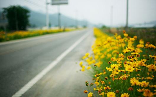 Обои Жёлтые цветы растут у дороги