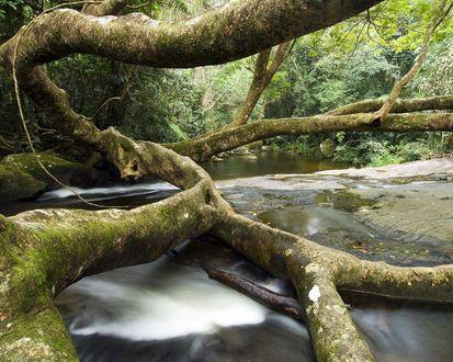 Обои Ветвистое дерево пролегает через лесной ручей