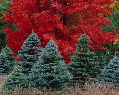 Обои Голубые ели на фоне красного дерева