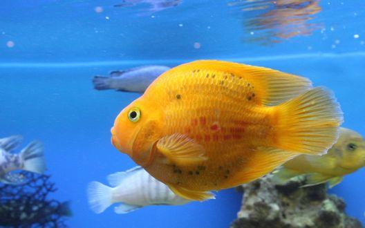 Обои Желтая рыбка среди менее ярких сородичей