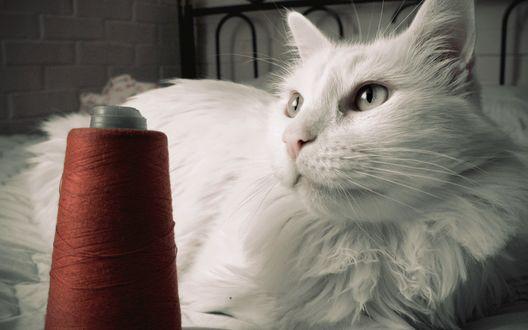 Обои Пушистый белый кот лежит возле катушки с красными нитками