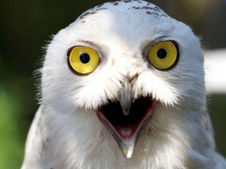 Обои Белая желтоглазая сова чем-то крайне удивлена