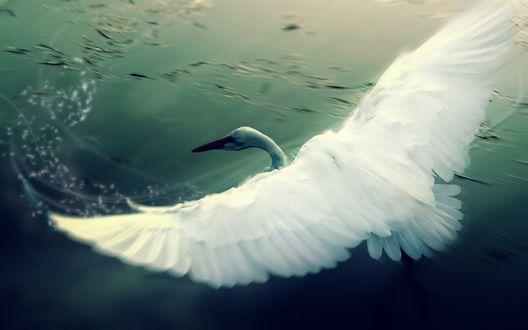 Обои Белоснежный лебедь пролетает над водой
