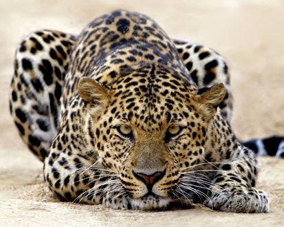 Обои Леопард лежит на земле