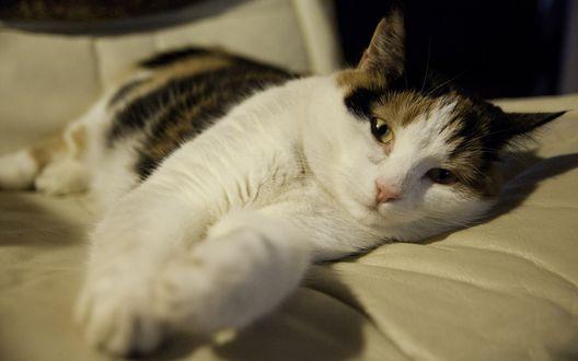 Обои Трехцветный кот отдыхает