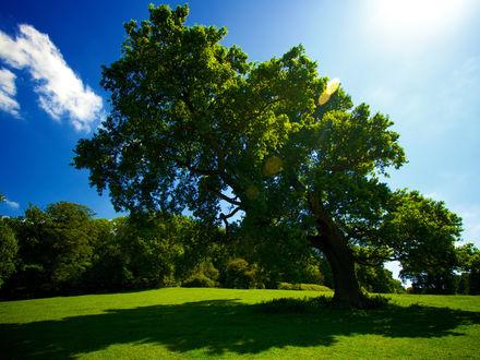 Обои Большое дерево на зелёной траве
