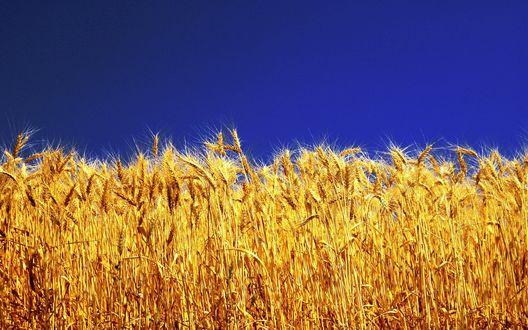 Обои Золотые колоски на фоне синего неба