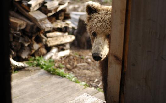 Обои Бурый медведь выглядывает из за двери