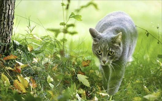 Обои Серый кот идет по зеленой траве
