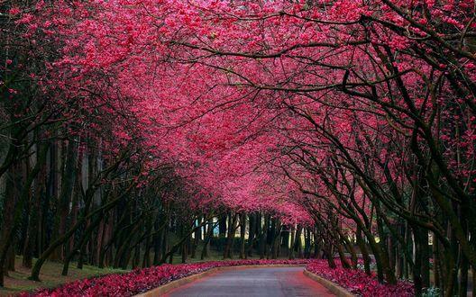 Обои Аллея с цветущей сакурой