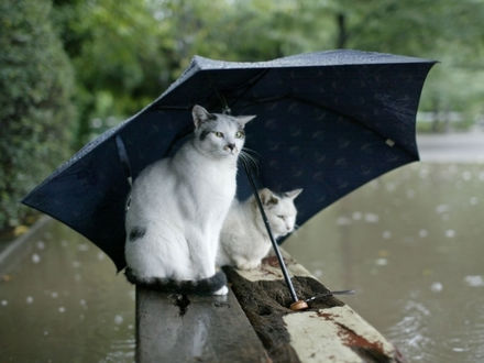 Обои Два пятнистых кота под зонтом