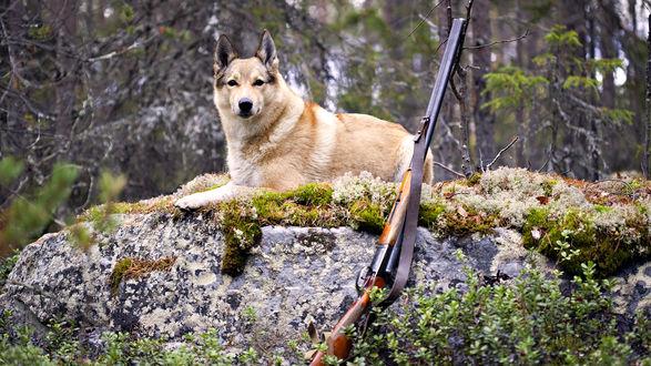 Обои Пёс лежит возле охотничьего ружья