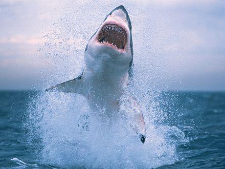 Обои Акула выпрыгивает из воды