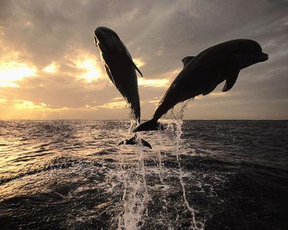 Обои Два дельфина выпрыгнули из моря на закате