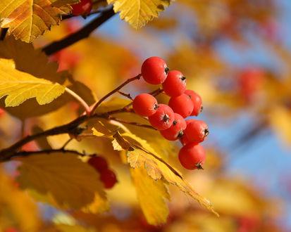 Обои Гроздь красных ягод на осеннем дереве рябины