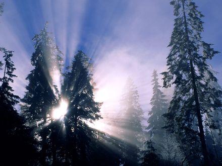 Обои Сквозь огромные кроны елей пробиваются яркие солнечные лучи
