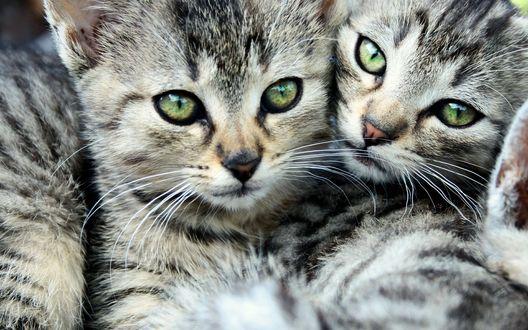 Обои Одинаковые зеленоглазые котята