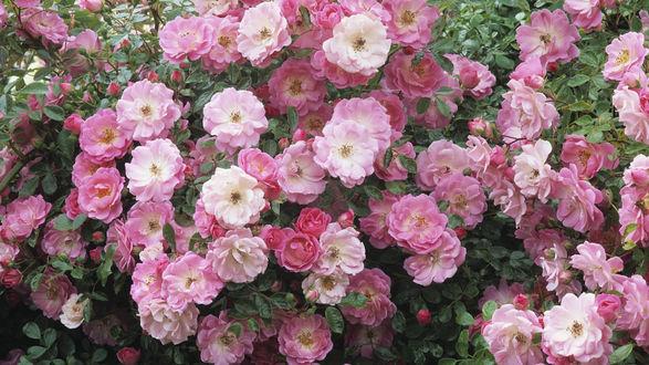 Обои Цветущий розовый куст шиповника