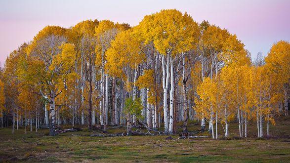 Обои Березовый лес осенью