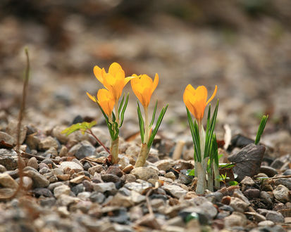 Обои Маленькие ,жёлтые крокусы прорастают через мелкие камни