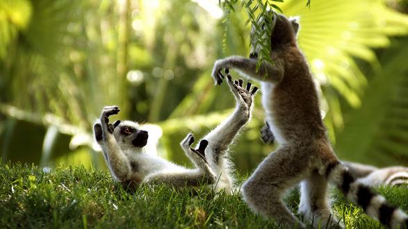 Обои Лимуры играют на травке под листьями папоротника