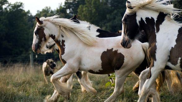 Обои Пегие конь несутся по полю
