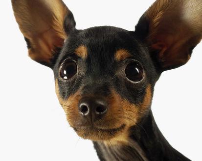 Обои Маленькая, ушастая собака Чихуахуа