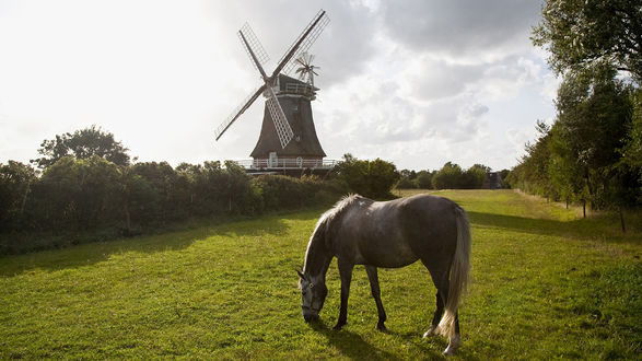Обои Серый конь пасётся не далеко от мельницы